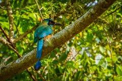 Den härliga färgrika fågeln - Motmot i Colombia Royaltyfri Fotografi