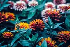 Den härliga felika drömlika magiska röda och gula zinniaen blommar med mörker - gräsplansidor Fotografering för Bildbyråer