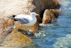 Den härliga fiskmåsen på havet vaggar av Sardinia Arkivbild