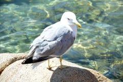 Den härliga fiskmåsen på havet vaggar av Sardinia Royaltyfria Bilder
