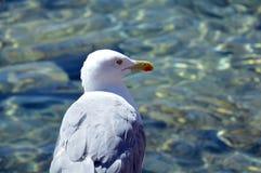 Den härliga fiskmåsen på havet vaggar av Sardinia Royaltyfri Fotografi