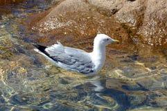 Den härliga fiskmåsen svävar på det klara vattnet av Sardinia royaltyfria bilder