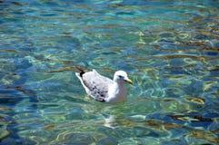 Den härliga fiskmåsen svävar på det klara vattnet av Sardinia arkivfoton