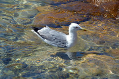 Den härliga fiskmåsen svävar på det klara vattnet av Sardinia fotografering för bildbyråer