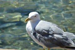 Den härliga fiskmåsen svävar på det klara vattnet av Sardinia Arkivbild
