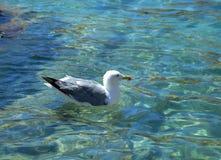 Den härliga fiskmåsen svävar på det klara vattnet av Sardinia Royaltyfri Foto