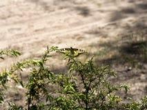 Den härliga fjärilen av swallowtail-drottningen Papilio machaonen på ris av en sörjer in tråkmånsar Royaltyfri Bild