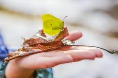 Den härliga fjärilen på ett stupat blad på ett barn gömma i handflatan arkivbild