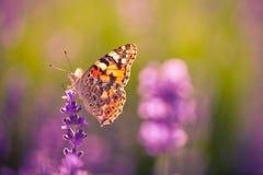 Den härliga fjärilssommarängen blommar, det färgrika lavendellandskapet arkivfoto