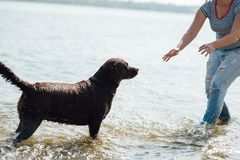 Den härliga flickan spelar med bruna labradors Arkivbild