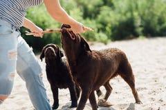 Den härliga flickan spelar med bruna labradors Arkivfoton