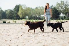 Den härliga flickan spelar med bruna labradors Royaltyfri Fotografi