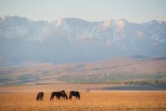 Den härliga flocken för fjärdhästen betar i bergen på solnedgången, solig naturlig bakgrund för fantastisk hipster Arkivfoton