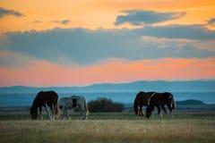 Den härliga flocken för fjärdhästen betar i bergen på solnedgången, solig naturlig bakgrund för fantastisk hipster Arkivfoto