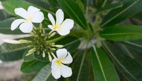 Den härliga frangipanien blommar på träd Arkivbilder