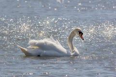 Den härliga fridfulla naturbilden av den stumma svanen på vatten badade i su Royaltyfri Fotografi