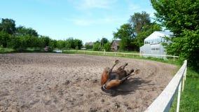 Den härliga fullblodbrunthingsten, häst lägger på baksida i aviarium, på utbildningssandfält, jordning hästen suddas in lager videofilmer