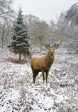 Den härliga fullvuxna hankronhjorten för röda hjortar i snö täckte den festliga säsongvintern fo royaltyfria foton