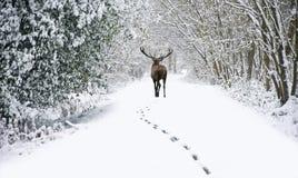 Den härliga fullvuxna hankronhjorten för röda hjortar i snö täckte den festliga säsongvintern fo arkivfoton