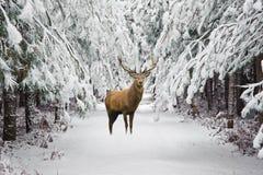 Den härliga fullvuxna hankronhjorten för röda hjortar i snö täckte den festliga säsongvintern fo royaltyfri foto