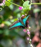 Den härliga gemensamma spyflugan i en fjäril parkerar arkivbilder