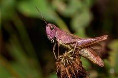 Den härliga gräshoppan sitter på en torkad blomma Djur i djurliv Royaltyfria Bilder