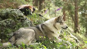 Den härliga gråa vargen som lägger på, vaggar och att ha vilar, djurliv stock video