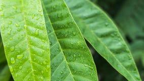 Den härliga gröna leafen med tappar av bevattnar Fotografering för Bildbyråer