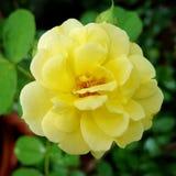Den härliga gula blomningen steg i trädgården arkivfoton