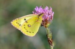 Den härliga gula fjärilen samlar nektar på en knopp av blomman Royaltyfria Bilder