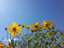 Den härliga gula jerusalem kronärtskockan blommar och blå himmel Arkivfoto