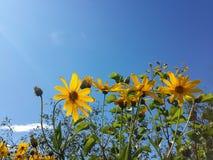Den härliga gula jerusalem kronärtskockan blommar och blå himmel Arkivfoton