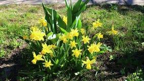 Den härliga gula påskliljan blommar i trädgården lager videofilmer