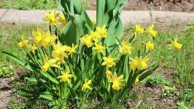 Den härliga gula påskliljan blommar i trädgården stock video