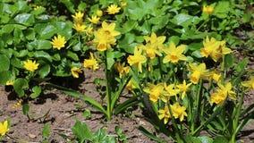 Den härliga gula påskliljan blommar i trädgården arkivfilmer