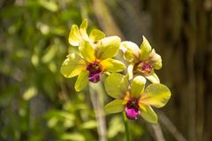Den härliga gula vibrerande orkidén blommar i den tropiska trädgården arkivfoto