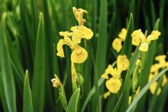 Den härliga gulingen sjunker bevattnar irisesIrispseudacoru Arkivfoto