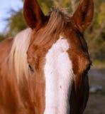 Den härliga hästen plirar in i kameran Lens arkivfoton