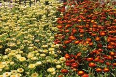 Den härliga helichrysumen blommar Feild In The Garden Arkivfoto