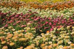 Den härliga helichrysumen blommar Feild In The Garden royaltyfri foto