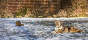 Den härliga hunden ligger i den snöig trädgården royaltyfria bilder