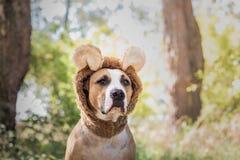 Den härliga hundståenden i björnhatt fotograferade utomhus Gulligt s fotografering för bildbyråer