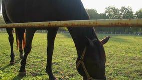 Den härliga inhemska hästen som äter nytt frodigt gräs som betar på grön lantgård, betar lager videofilmer