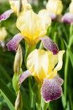 Den härliga irins blommar att blomma Arkivbilder