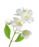 Den härliga jasmin blommar med sidor som isoleras på vit Arkivfoton