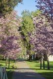 Den härliga körsbärsröda blomningen på regionala Schabarum parkerar Fotografering för Bildbyråer