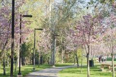 Den härliga körsbärsröda blomningen på regionala Schabarum parkerar Arkivfoto