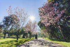 Den härliga körsbärsröda blomningen på regionala Schabarum parkerar Arkivbilder