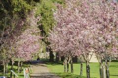 Den härliga körsbärsröda blomningen på regionala Schabarum parkerar Royaltyfri Fotografi