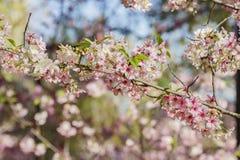 Den härliga körsbärsröda blomningen på regionala Schabarum parkerar Royaltyfria Foton